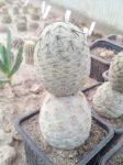Tephrocactus geometricus