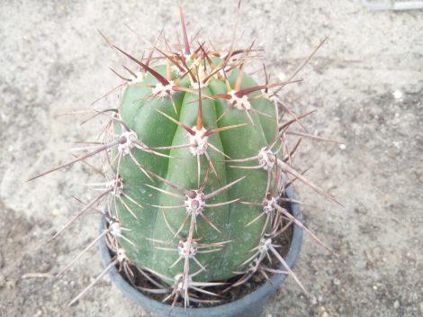 Trichocereus werdermannianus WS259 (Echinopsis werd.)