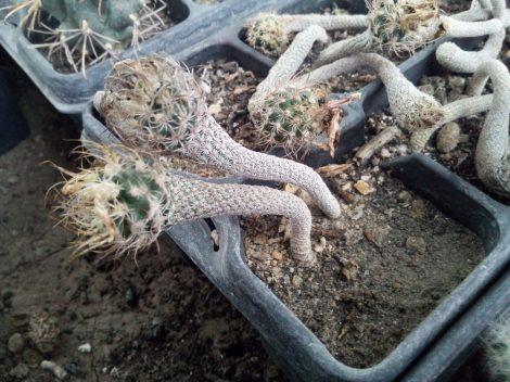 Turbinicarpus krainzianus var. minimus