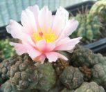 Frost tender cacti